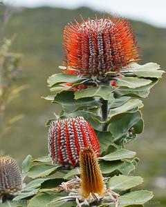 Scarlet Banksia Banksia coccinea Cheynes Beach, WA September, 2009 IMG_5007