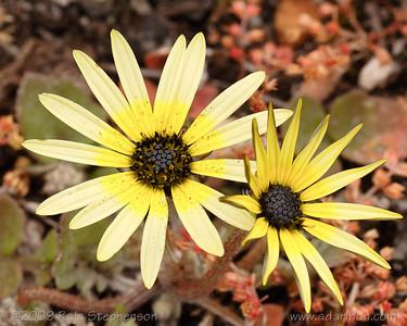 Ursinia anthemoides (?) IMG_4714