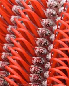 Scarlet Banksia - detail Banksia coccinea Cheynes Beach, WA September, 2009 IMG_5033