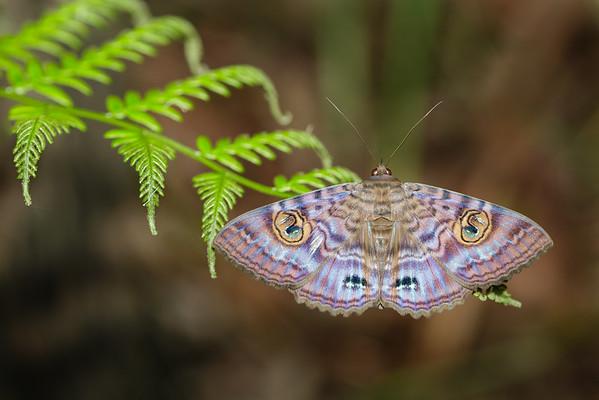 Granny's Cloak Moth (Speiredonia spectans)