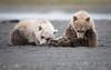 Coastal Brown Bears, Alaska