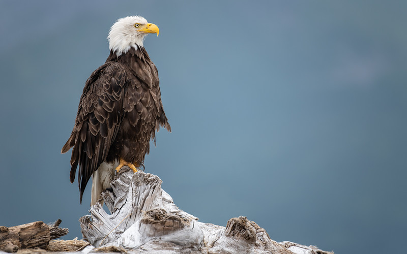 Bald Eagle - Katmai, Alaska