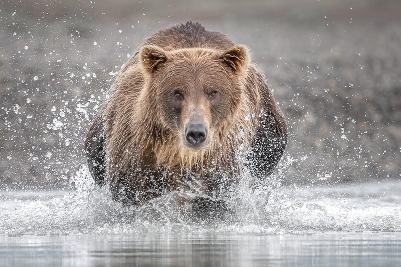 Coastal Brown Bear, Alaska