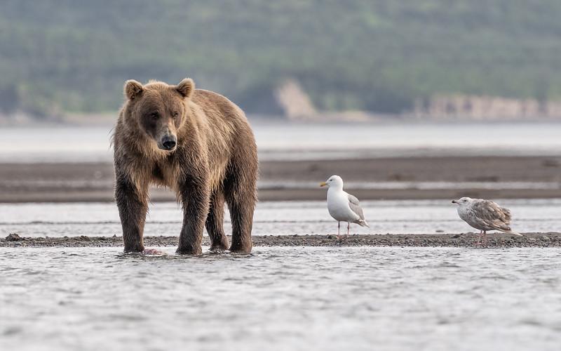 Coastal Brown Bear - Katmai, Alaska