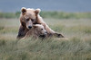 Coastal Brown Bears - Katmai, Alaska