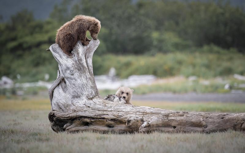 Coastal Brown Bears - Katmai, Alaska