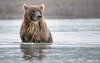 Coastal Brown Bear - Katmai, Alaska
