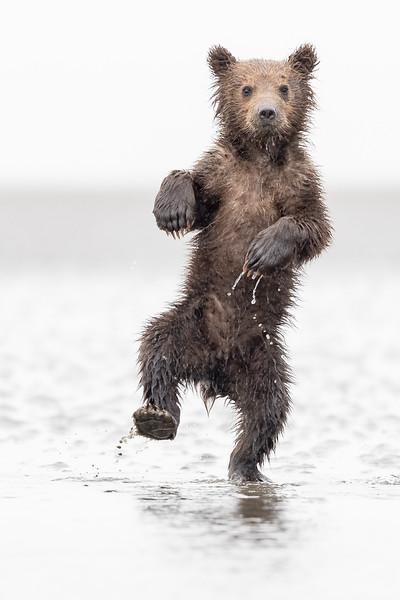 Spring Cub Antics, Alaska