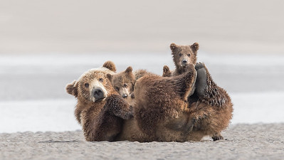 Coastal Brown Bear and her Spring Cubs, Alaska