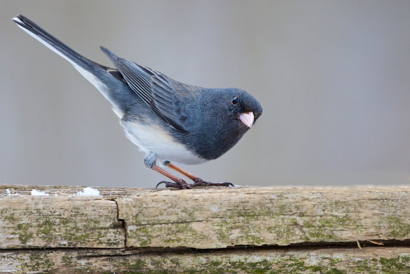 Junco - Lynde Shores Conservation Area - Whitby, Ontario