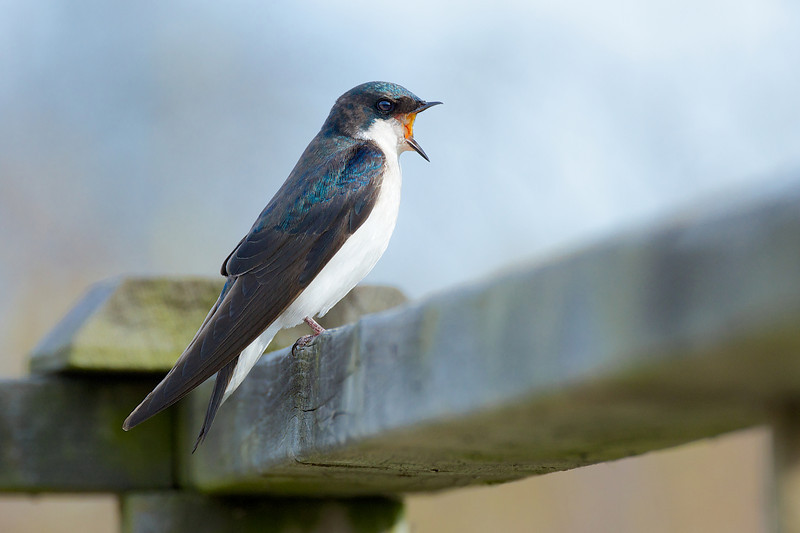 Tree Swallow - Thickson's Woods - Whitby, Ontario