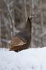 Wild Turkey - Torrence, Ontario