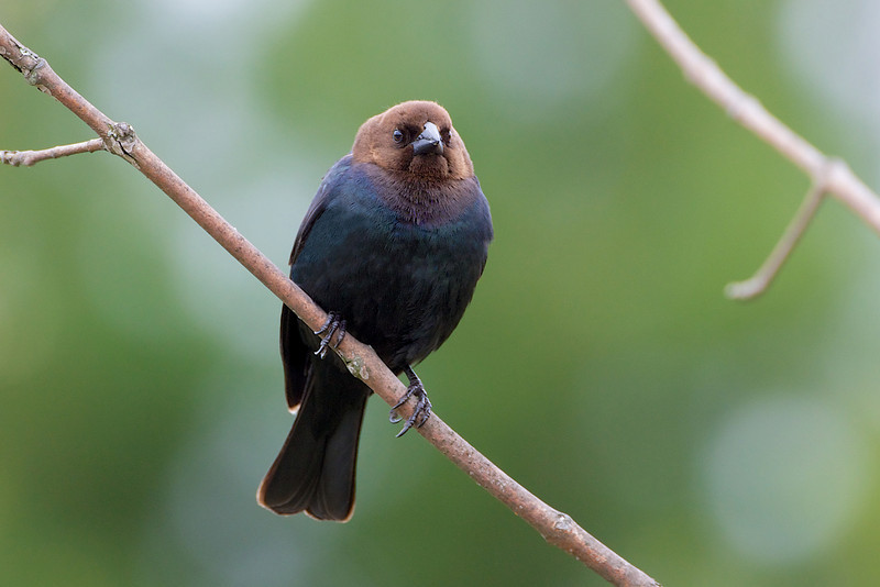 Brown-Headed Cowbird (male) - Thickson's Woods - Whitby, Ontario