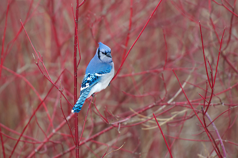 Jay in Dogwood  - Lynde Shores Conservation Area - Whitby, Ontario