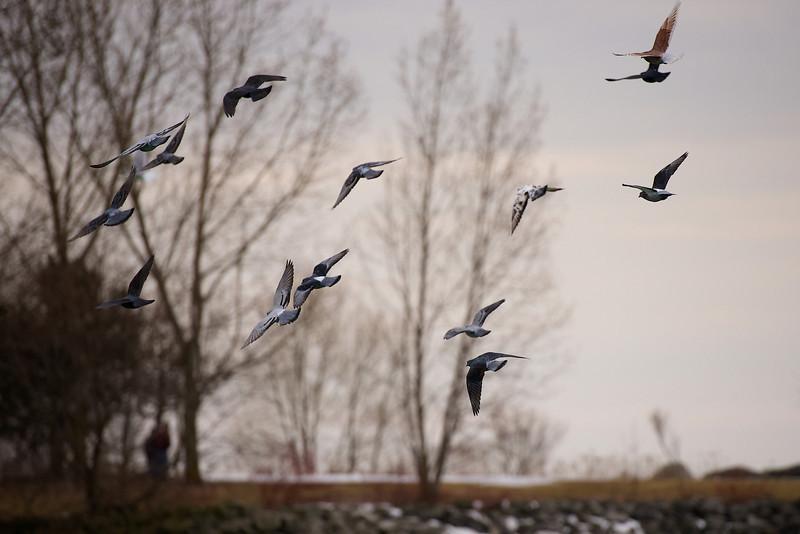 Bluffer's Park Pigeons - Toronto, Ontario