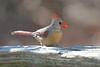 Cardinal - Lynde Shores Conservation Area - Whitby, Ontario