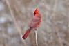 Cardinal - Lynde Shores Conservation Area - Whitby Ontario