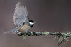 Feisty Chickadee