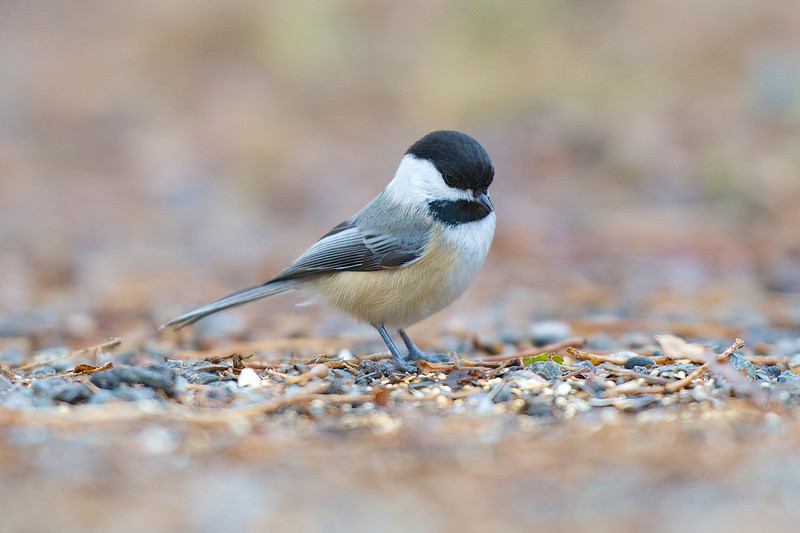Chickadee - Lynde Shores Conservation Area - Whitby, Ontario