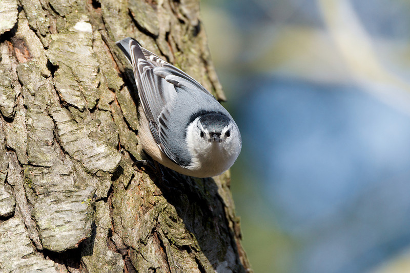 White-breasted Nuthatch - Thickson's Woods - Whitby, Ontario