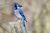 Blue Jay - Lynde Shores Conservation Area - Whitby, Ontario