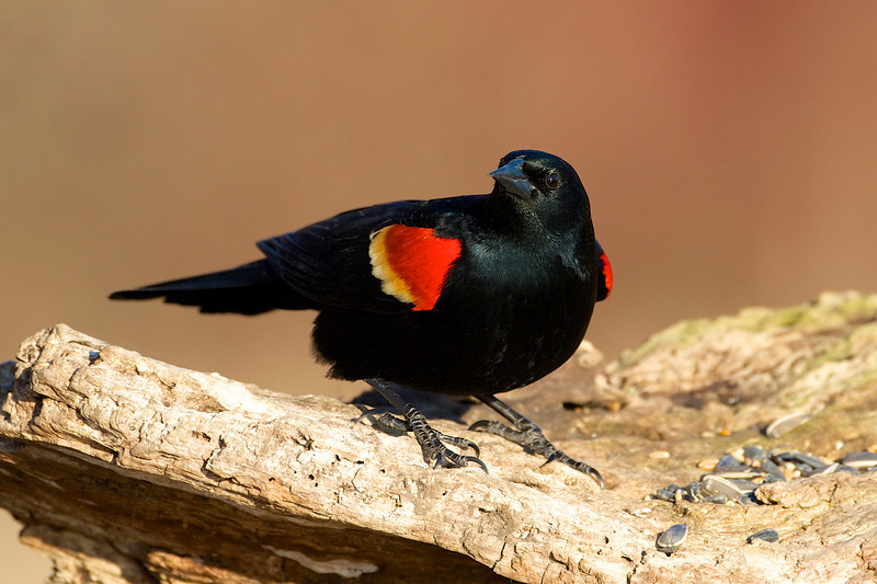 Red Winged Blackbird - Lynde Shores Conservation Area - Whitby Ontario