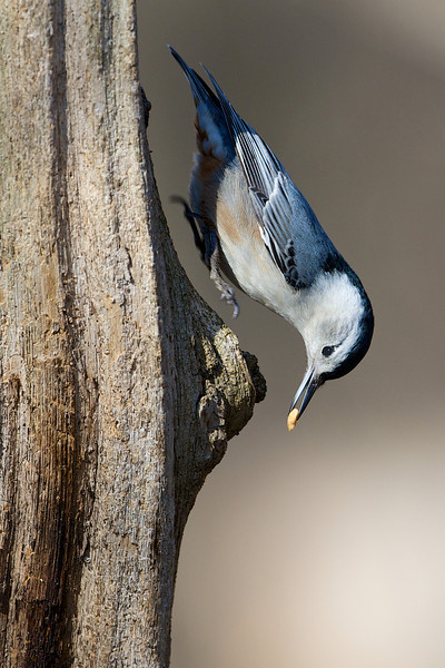 White-breasted Nuthatch - Lynde Shores Conservation Area - Whitby, Ontario