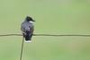 Eastern Kingbird - Carden Alvar, Ontario
