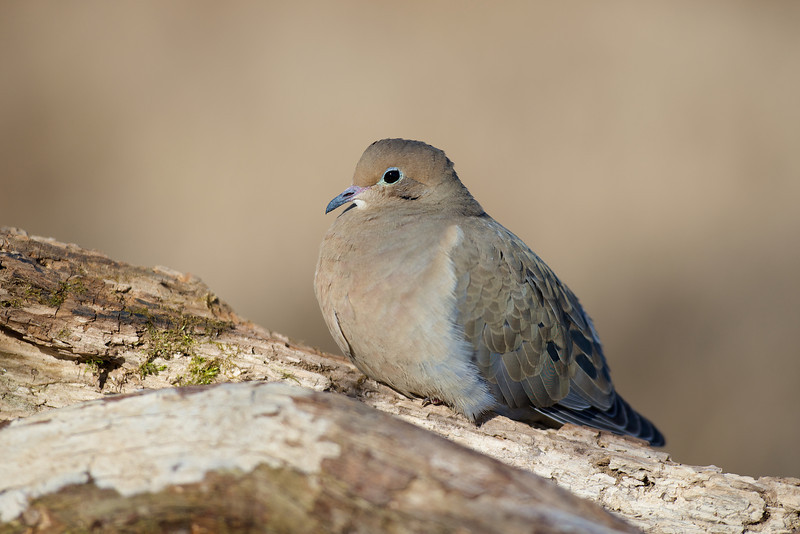 Mourning Dove - Lynde Shores Conservation Area - Whitby, Ontario