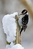 Downy Woodpecker - Lynde Shores Conservation Area - Whitby, Ontario