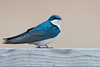 Tree Swallow - Thickson's Woods - Whitby, Ontario