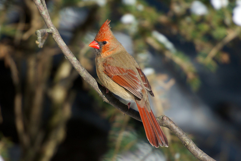 Cardinal - Thickson's Woods - Whitby, Ontario
