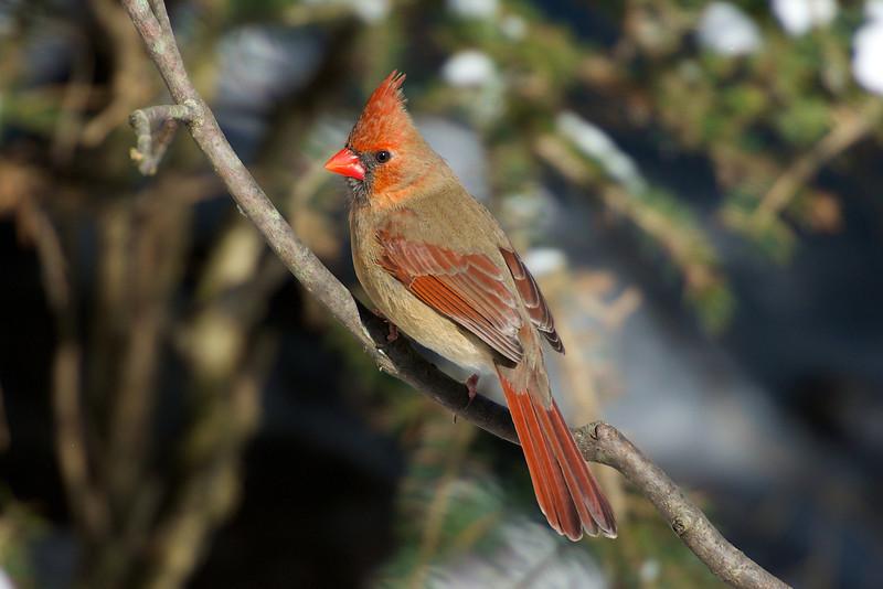Cardinal - Thickson's Woods - Whitby, Ontario