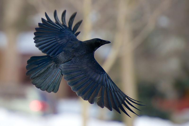 Crow  - Guildwood Village - Toronto, Ontario