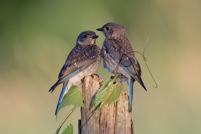 Baby Eastern Bluebirds