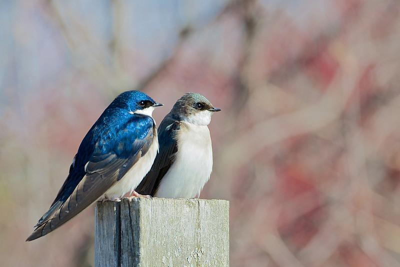 Tree Swallows - Thickson's Woods - Whitby, Ontario