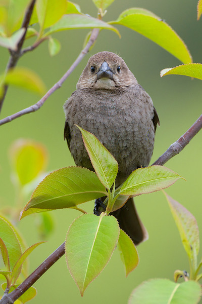 Brown-Headed Cowbird (female) - Thickson's Woods - Whitby, Ontario