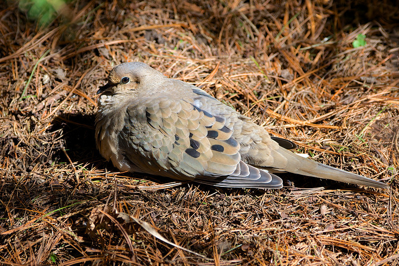 Mourning Dove - Thickson's Woods - Whitby, Ontario