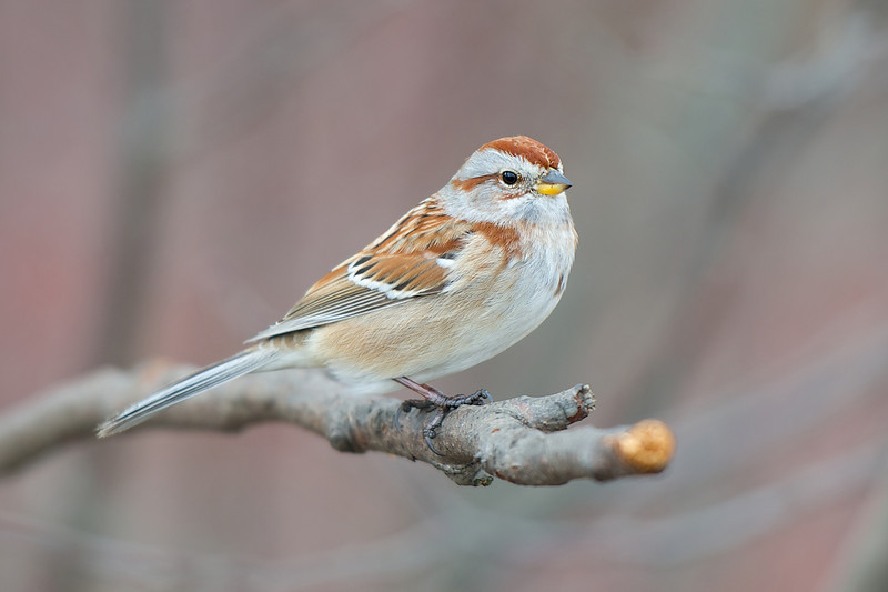 Tree Sparrow - Lynde Shores Conservation Area - Whitby, Ontario