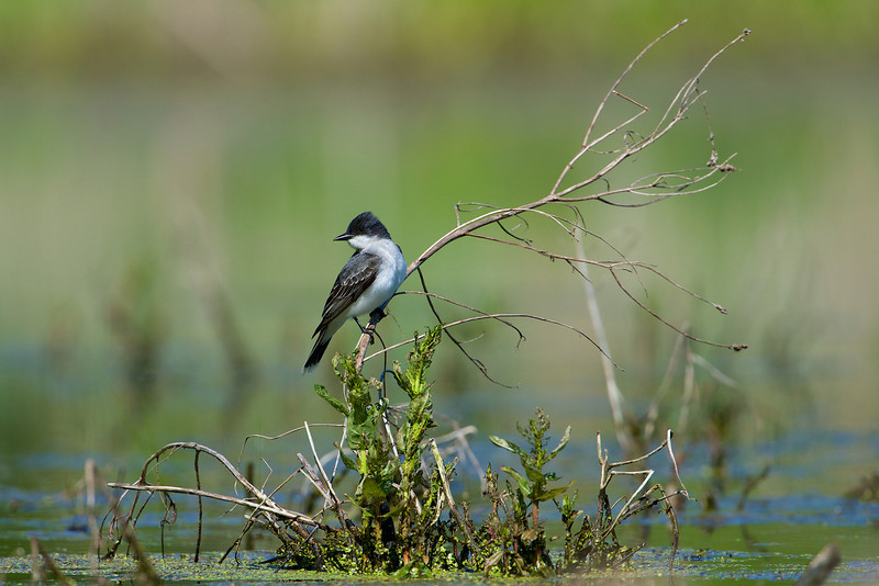 Eastern Kingbird - Cranberry Marsh - Whitby, Ontario