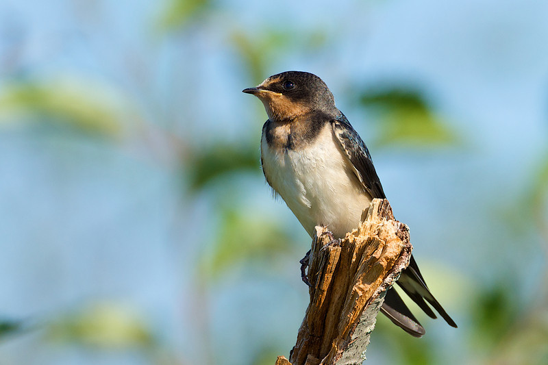 Barn Swallow - Carden Alvar, Ontario