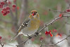 Pine Grosbeak Chowing Down