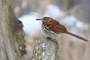 Brown Thrasher - Lynde Shores Conservation Area - Whitby, Ontario