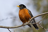 American Robin - Lynde Shores Conservation Area - Whitby, Ontario
