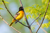 Baltimore Oriole - Thickson's Woods - Whitby, Ontario