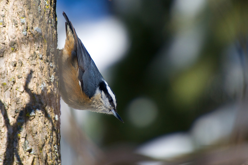 Red-breasted Nuthatch - Thickson's Woods - Whitby, Ontario