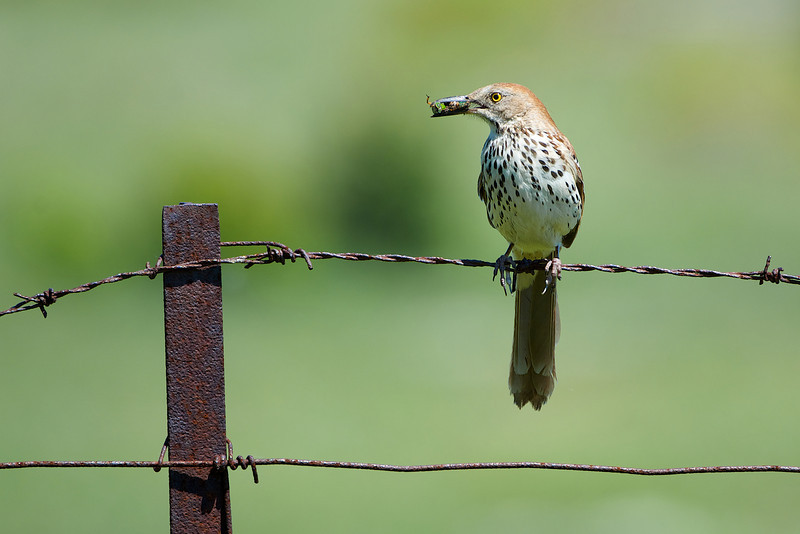 Brown Thrasher - Carden Alvar, Ontario