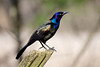 Common Grackle - Lynde Shores Conservation Area - Whitby, Ontario