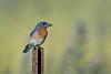 Eastern Bluebird - Carden Alvar, Ontario