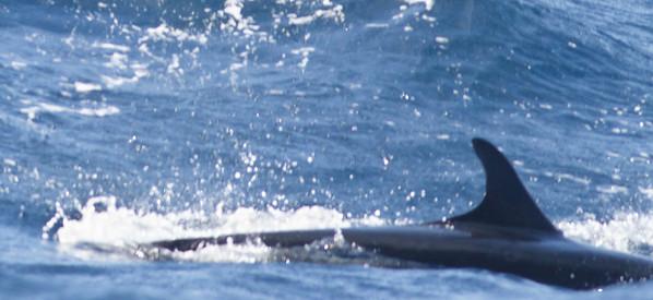 False Killer Whale Sydney, NSW May 12, 2012 IMG_5286